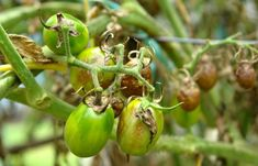 Early Blight is a plant disease caused by a fungal pathogen called Alternaria Solani. The causes, symptoms and the treatment for early blight in the article Patio Tomatoes, Canning Tomatoes, Healthy Juice Recipes, Healthy Juices, Tomato Garden, Tomato Plants, Tomato Plant Diseases, Culture Bio, Growing Tomatoes