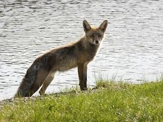 El zorro de las Lagunas de Neila   #Pinares #Burgos #Soria #Spain