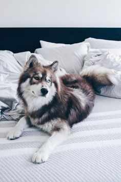 """Acquire terrific suggestions on """"siberian husky puppies"""". They are available for you on our internet site. The Animals, Cute Little Animals, Cutest Animals, Nature Animals, Cute Baby Dogs, Cute Dogs And Puppies, Doggies, Rottweiler Puppies, Husky Puppy"""