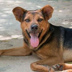 Hi, my name is Anderius and I am on a mission to find my forever home. Could you please be the one to adopt me? EMAIL Lou@soidog.org to find out how! I arrived at the Soi Dog shelter after I was found on the streets of Phuket, Thailand. The people near my territory said I was causing mischief in the area and I was at risk. All I was doing was trying to find some food to eat, water to drink and a dry place to sleep. A street dog like me doesn't have all of those things.