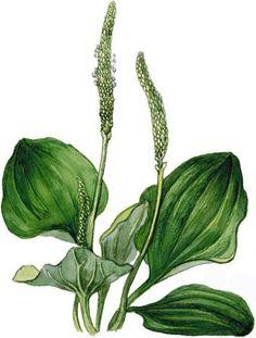 Съедобные растения. Подорожник. / Полевая кухня / НеПропаду