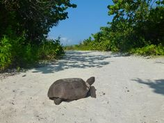 gopher-tortoise-barefoot.jpg 640×480 pixels.   Barefoot beach Collier county.     (Next to Bonita Beach---Lee County).        I love this place!
