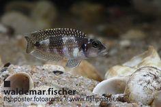 fishposter Fotoarchiv Lamprologus meleagris