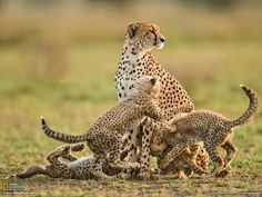 In this photo by Frans Lanting, a young cheetah mother scans the Serengeti for signs of danger while her four 12-week-old cubs wrestle. Most vulnerable of the world's big cats, cheetahs are also one of its shrewdest survivors. Read the full story here: http://on.natgeo.com/RnGRTQ