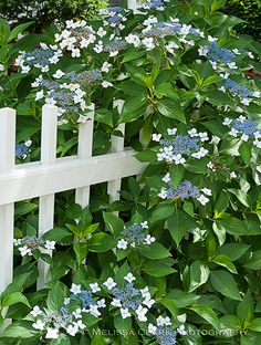 """Last week I wrote about """"mophead"""" hydrangeas that I grow in my garden. This week is let's look at some """"lacecap"""" varieties. From a design standpoint, I love using thi…"""
