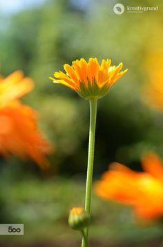 Orange Calendula is blooming #garden, #calendula #nature #flower #summer
