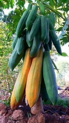 There are three different tree species, male plants, female plants and bisexual plants. The female and bisexual plants are the only ones that make fruit.The Papaya tree is a tropical fruit that originated in Mexico and South America. It is now grown Fruit Plants, Fruit Garden, Fruit Trees, Types Of Fruit, Fruit And Veg, Fresh Fruit, Apple Fruit, Papaya Tree, Fruit Bearing Trees