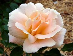 'Folksinger ' Rose Photo