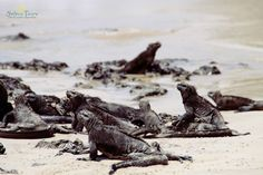 Meeresleguane auf den Galapagos Inseln.