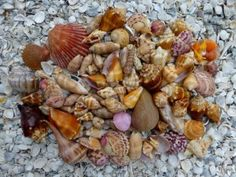 August shells, man I need a place to live in SW Florida.