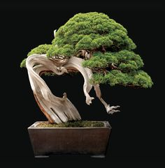 A 250-year-old Sargent juniper from Saitama City, Japan. The plant stands 28 inches tall. Courtesy of Jonathan Singer