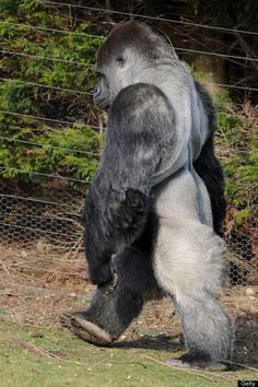 Ambam, a 21 year old Silverback gorilla, walks on his hind legs at Port Lympne zoo in Kent south east England, on January 28, 2011. The male name Ambam, is part of a bachelor group of critically endangered Western lowland gorillas at Port Lympne Wild Animal Park in Kent. [There is a one minute VIDEO of him walking, on this board. ST] AFP PHOTO/Ben Stansall