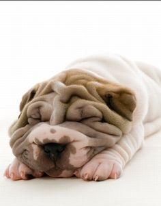 I am lazy I'm a bulldog