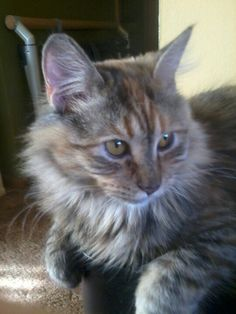 Willa Types Of Cats, Favorite Things, Animals, Cuddle Cat, Midget Cat, Cat Types, Animales, Animaux, Animal