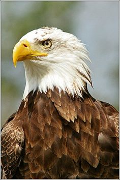 Bald Eagle..saw so many of these beautiful creatures in Alaska. They are so magnificent!