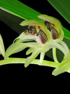 Coelogyne Dayana | gal-coelogyne-chloroptera-03
