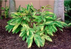 Variegated Ginger Lily - Available at Lowe's