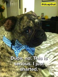 Rizzo the Boston terrier pug #bugg