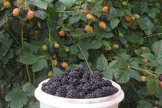 Resultado de imagem para árvores frutíferas em vasos decorativos