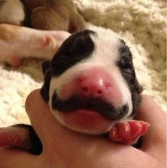 Puppy born with a mustache on http://www.drlima.net