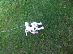 Baby pitbull   Titan as a puppy