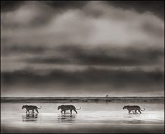 LIionesses crossing lake, Ngorongoro Crater, 2000 by Nick Brandt