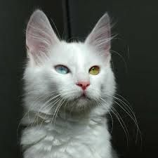 Turkish Angora - Come in white and colored coats. They are vocal and do well with children. Can live up to 20 years! The long haired gene was said to originate from this breed. Eyes can be two different colors - usually deaf on the side with blue eye.