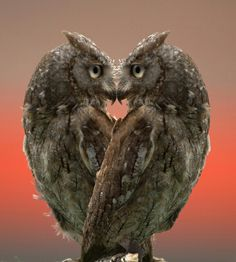 owl Cool, but shopped? Mirror imaged for sure! So look at the two eyes you do see.almost a complete owl face! Beautiful Owl, Animals Beautiful, Pretty Birds, Love Birds, Cute Baby Animals, Animals And Pets, Wild Animals, Funny Animals, Heart In Nature