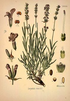 Lavandula vera D. C. (Lavandula angustifolia Mill.) Lavender