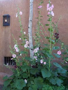 hollyhocks New Mexico