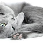 Russian Blue Cat Gallery - Cat's Nine Lives Blue Cats, Grey Cats, Siamese Cats, Cats And Kittens, Cat Aesthetic, Super Cat, Norwegian Forest Cat, Russian Blue, Fluffy Cat