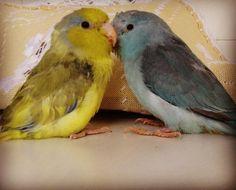 A última prometo. É muito amor!! / The last one I promise. There's so much love! #forpus #birds #nature #passarinho #birdsofinstagram #instapic #natureza #brasil #BalaiodeEstiloS