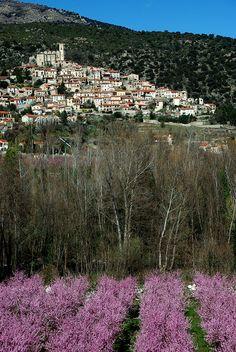 Eus (Pyrénées-Orientales). Le beau village d'Eus au-delà des vergers de pêchers en fleurs.