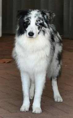 blue merle border collie. looks alot like an aussie?