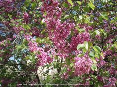 picture of a judas tree in full bloom// this is the tree that Judas hung him self upon after betraying my FATHER JESUS.. Praise be to GOD for he forgives his children..