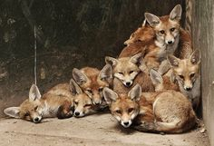 Pile of foxes.