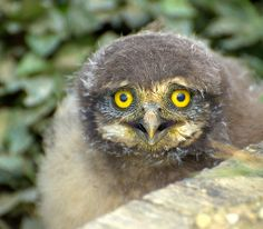 CORUJA-BURAQUEIRA  filhote (Athene cunicularia) - OMG!