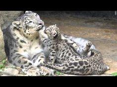 【ヤバイ!キュン死する】萌え〜♪超かわいい♪ユキヒョウの赤ちゃん( Snow leopard/눈 표범/léopard des neiges/l...