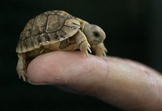 Egyptian Tortoise.  So tiny!  Endangered due to capture for illegal pet trading and loss of habitat