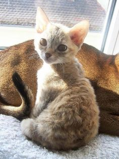 German Rex cute cat
