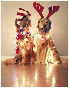How cute! I'm amazed these beautiful Goldens sat for the photo. The photographer who pinned this is correct - a photo like this makes a great Christmas card. #christmaslights