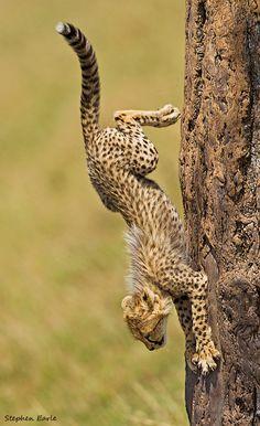 Africa | Descending Cheetah.  South Africa | ©Stephen Earle