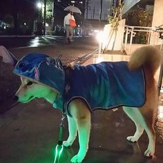 . 昨夜🌃雨が止んだすきに#夜んぽ 🐾. . いつもお友達🐶と会ったり 忘れ物ボール見つけたりする広場の前から動かず…. 結局、止んでた雨が降ってきちゃった💦. . お友達🐶来ないし ぬかるんでる広場には入れないのになー(・・;). . #shiba #shibaken #shibainu #dog #柴 #柴犬 #日本犬 #犬 #愛犬 #ペット #和犬 #健太 #KENTA #しばけん #けんた #ワンコ #kaumo #草食系柴男子 #イヤイヤさん #スティッチ