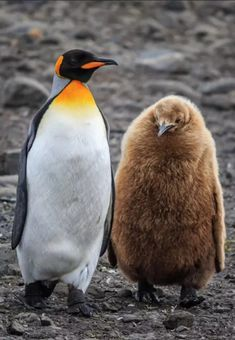 Photography by Tim Vollmer: King Penguin and baby Sri Lanka Photography, Venice Photography, Photography Tours, World Photography, Photography Portfolio, Wildlife Photography, Doraemon Wallpapers, King Penguin, Carnival Of Venice