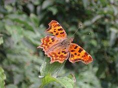 Papillon, Papillon Virgule, Nature
