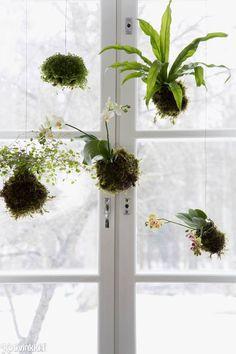 Ihanimmat puutarha- ja kasvitrendit tulevat nyt Japanista. Tässä niistä yksi: roikkuva kokedama, joka on helppo tehdä kotona.