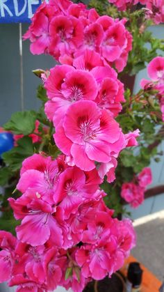 Des crêtes présente une magnifique couleur pourpre fleur.