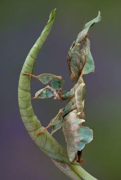 Praying Mantis As Pets | Praying Mantis Fact - In Spite of Female Cannibalism Makes a Lovely ...