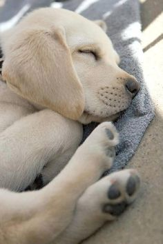 Mind Blowing Facts About Labrador Retrievers And Ideas. Amazing Facts About Labrador Retrievers And Ideas. Cute Puppies, Cute Dogs, Dogs And Puppies, Doggies, Baby Dogs, Funny Dogs, Baby Animals, Cute Animals, Fluffy Animals