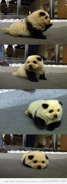This is a panda dog. You're welcome.